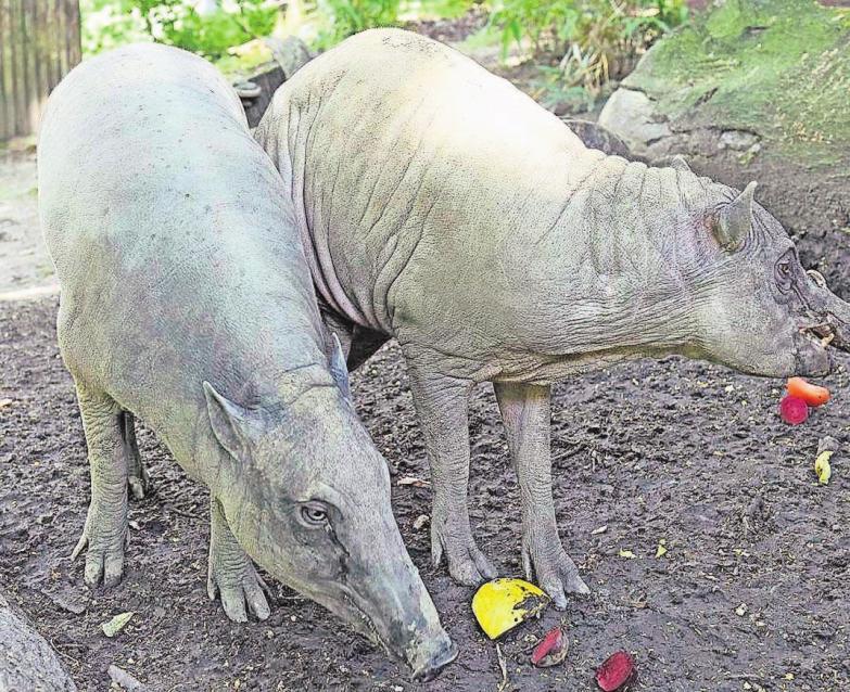 Noch sind die Sauen größer als Manni, aber das wird sich altersbedingt ändern.